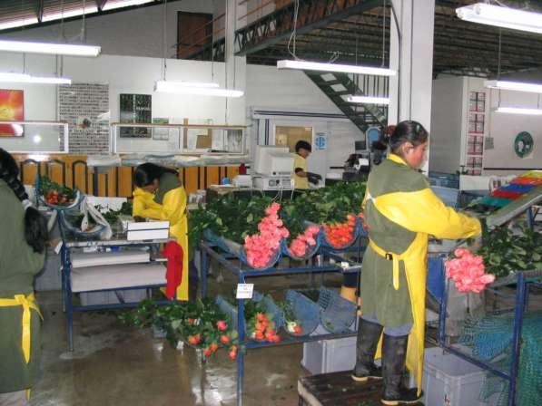 Цветы напрямую от плантаций Эквадора от 1 коробки в Москве фото 18