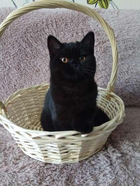 Продаются британские котятки