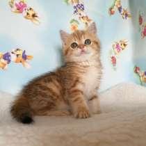 Кошечка золотая мраморная, в г.Казань