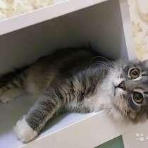 Серо-дымчатое чудо, домашний котенок-подросток Том, в г.Москва