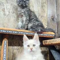 Котята MaineCoon, в Ставрополе