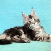 Котик мейн-кун из питомника, в Иркутске
