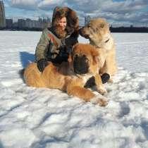 Щенки кавказской овчарки, в Москве