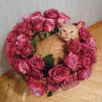 Британский рыжий котик, в Москве