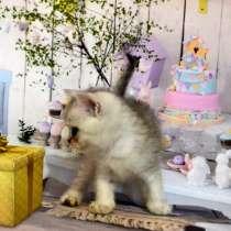 Шотландский котик вискас, в Москве