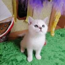 Британские котята, в г.Вильнюс