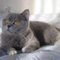 Британская кошка, в Санкт-Петербурге