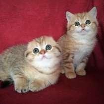 Золотые шотландские котята, в г.Казань