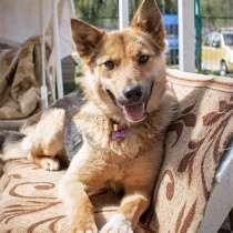 Чудесная молодая очень добрая собака ЛИса ищет дом, в г.Москва