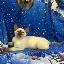 Ориентальные котики и кошечка, синеглазые, в Москве