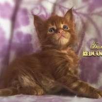 Котёнок менй кун красный солид. Шоу класс, в Перми