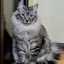 Отдам даром Титус, роскошный молодой серебристый кот, в г.Москва