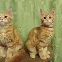 Котята из питомника, в г.Нижний Тагил
