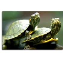 Красноухие черепахи оптом, в Краснодаре