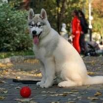 Ласковые смышленые щенки Хаски, в Екатеринбурге