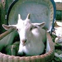 Продам козу, в Жуковском