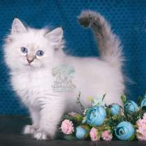 Elite Siberian kittens from the top cattery, в г.Майами