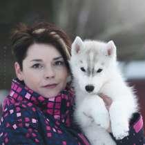 Очаровательный щенок Сибирский Хаски от интерчемпиона, в Санкт-Петербурге