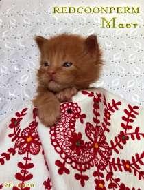 Котенок мейн кун красный солид. Шоу класс, в Перми
