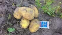 Картофель продовольственный и семенной, от 20т. Брянская обл, в Брянске