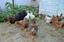 ПК 1-1; ПК 1-3 Комикорм для кур-несушек, в Железнодорожном