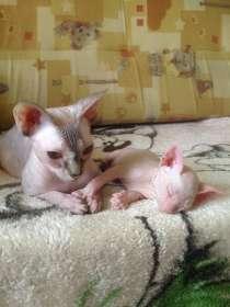Сфинксята-котята, в Брянске