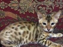 Бенгальский Коты, в г.Самара