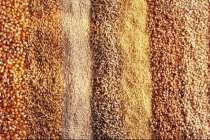 Пшеница твёрдых сортов, в Белгороде