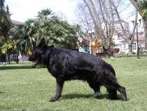 VIP Черные щенки немецкой овчарки РКФ, в Сочи