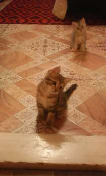 Отдам в хорошие руки котенка, бесплатно, в Новосибирске