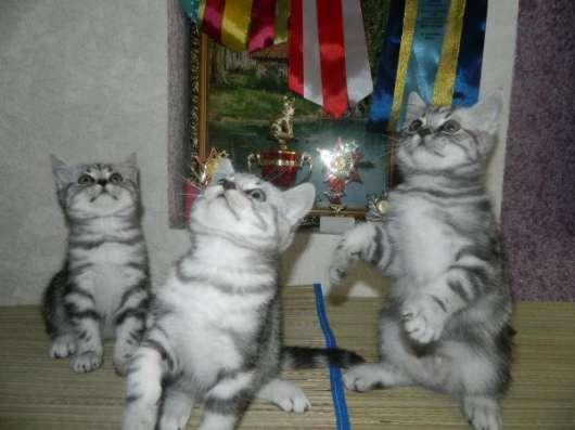 Шикарные британские котята в Ульяновске Фото 2