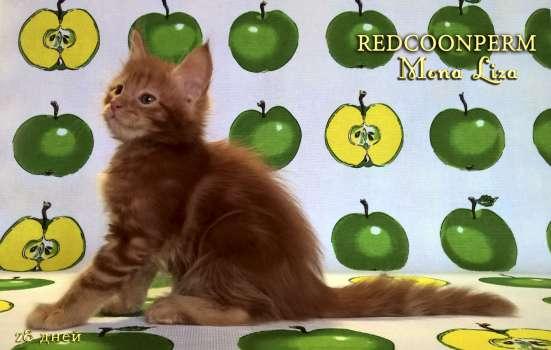 Котенок мейн кун красный солид. Шоу класс в Перми Фото 5