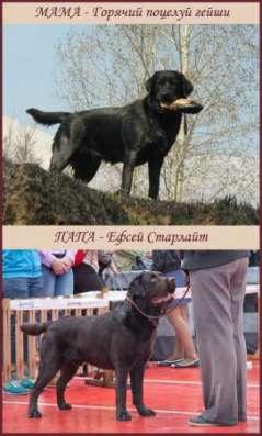 Черные щенки лабрадора со звездной родословной