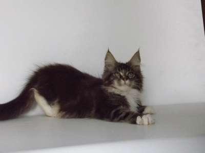 Мейн-кун котята в Геленджике Фото 1