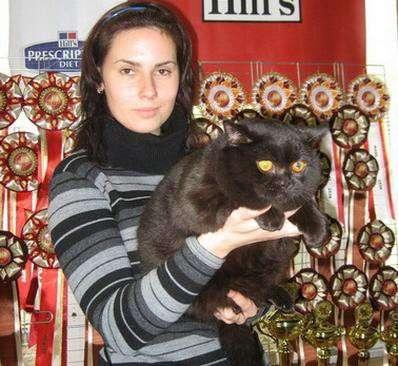 Британская кошечка шоколадная черепаховая с родословной в Москве Фото 1