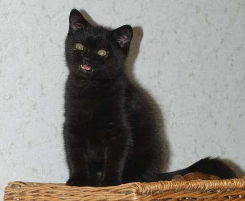Черные британские котята - кошка в Москве Фото 1