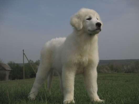 Овчарка Белая Итальянская Маремма Охрана Дома и Семьи
