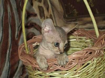 Котята канадского сфинкса в Архангельске Фото 4