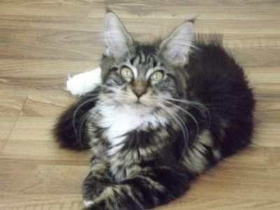 Котята породы мейн-кун в г. Элиста Фото 3