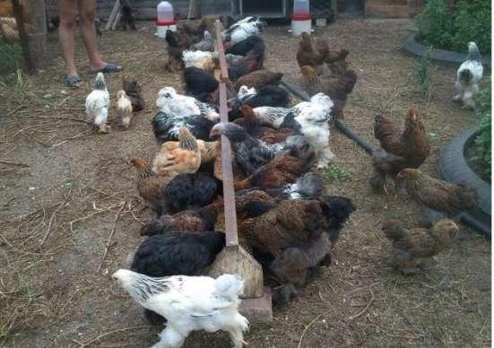 Сельскохозяйственная птица, инкубационные яйца