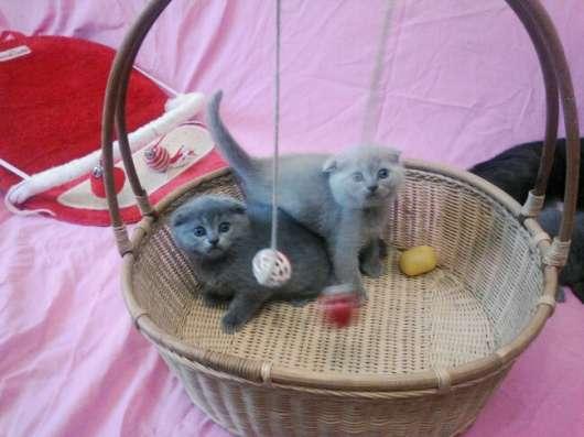 Клубные подрощенные котята в Москве Фото 2