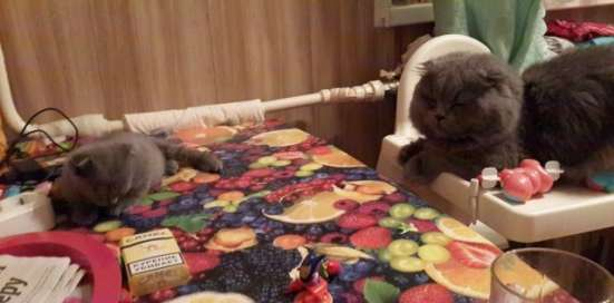 Вислоухий британский котик ищет хозяина
