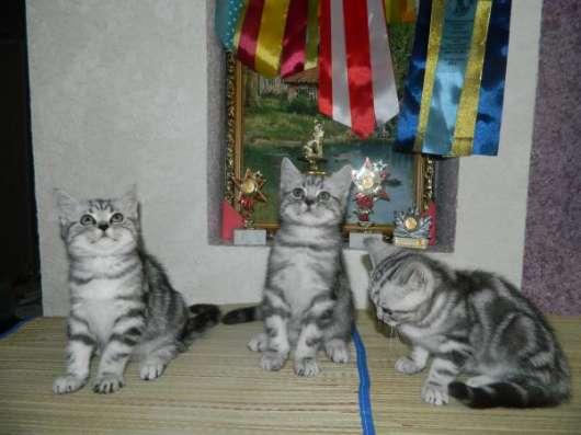 Шикарные британские котята в Ульяновске Фото 3