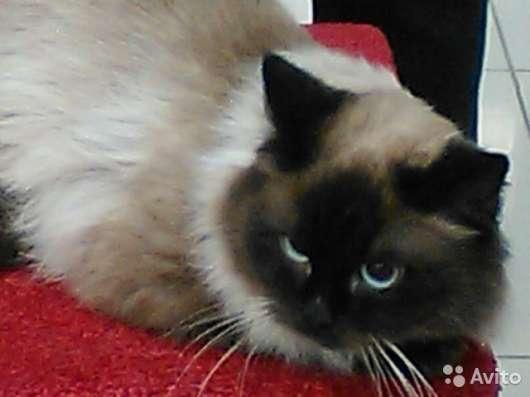 Котята породы Невская маскарадная в Москве Фото 5