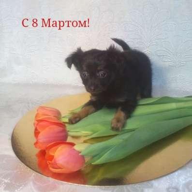 Щенки той терьера в Красноярске Фото 1