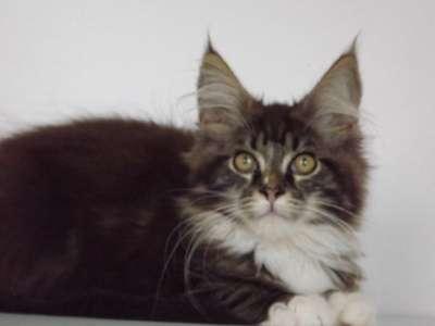 Мейн-кун котята в Геленджике Фото 2