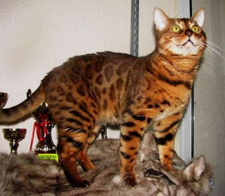 Бенгальские котята-отличные ребята