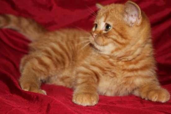 Британские котята плюшевые медвежата