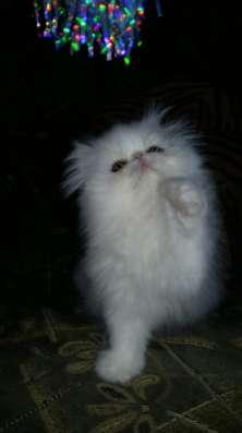 Персидский белый котенок