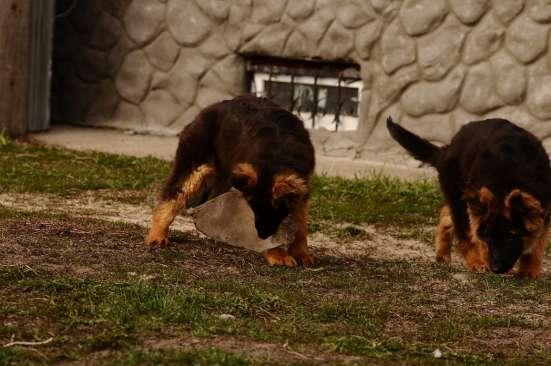 Немецкой овчарки длинношерстные щенки в Москве Фото 4